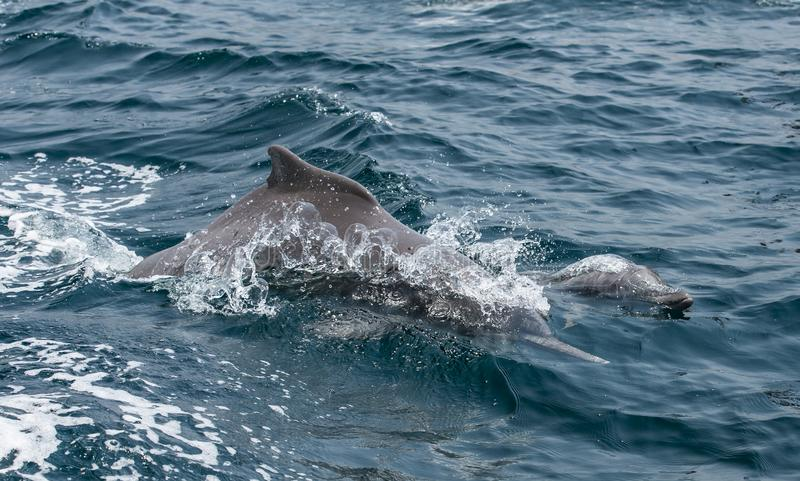 Playful humpback dolphins in a coastal waters of Musandam Oman. Dolphins in a coastal waters of Musandam royalty free stock image