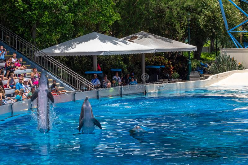 Dolphins coming out of the water in Dolphin Days show at Seaworld. Orlando, Florida. July 29, 2019. Dolphins coming out of the water in Dolphin Days show at stock image