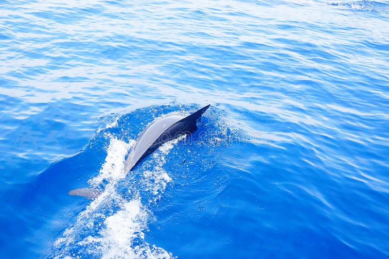Dolphins diving in the ocean under the sun. Happy dolphins swimming in the pacific ocean of Costa Rica royalty free stock photography
