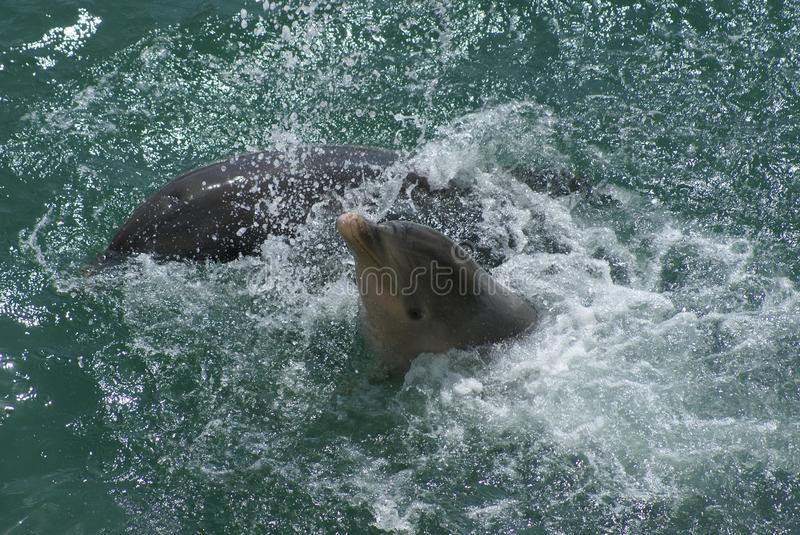 Dolphins. Dolphin is an aquatic marine mammal animal in the order Cetacea stock photography
