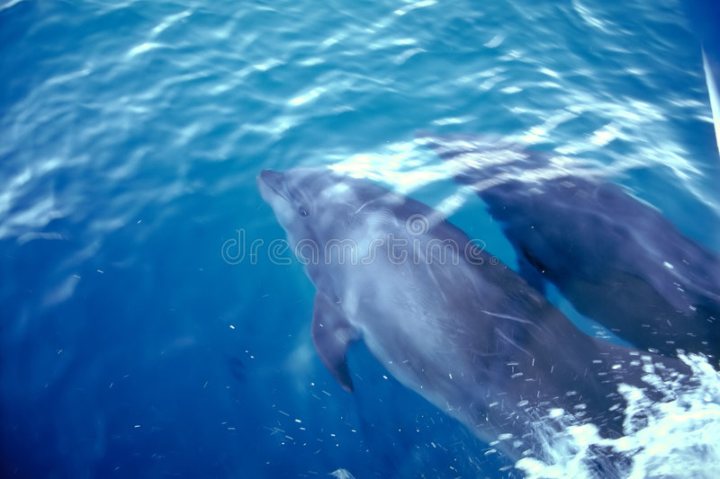Dolphins - Galapagos Islands. Dolphins cruise the waters surrounding the Galapagos Islands, Ecuador
