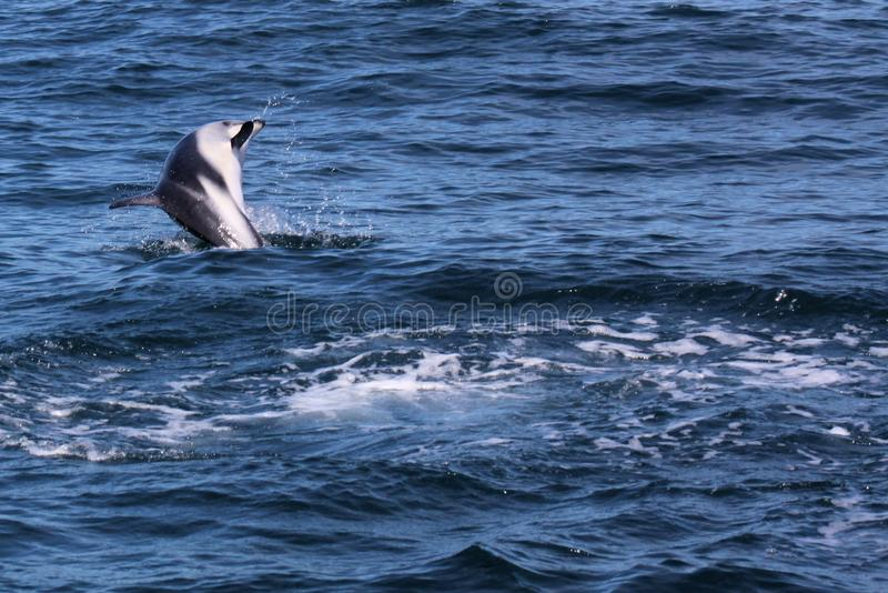 Dolphins having fun in the ocean during whale watching trip - New Zealand royalty free stock photos