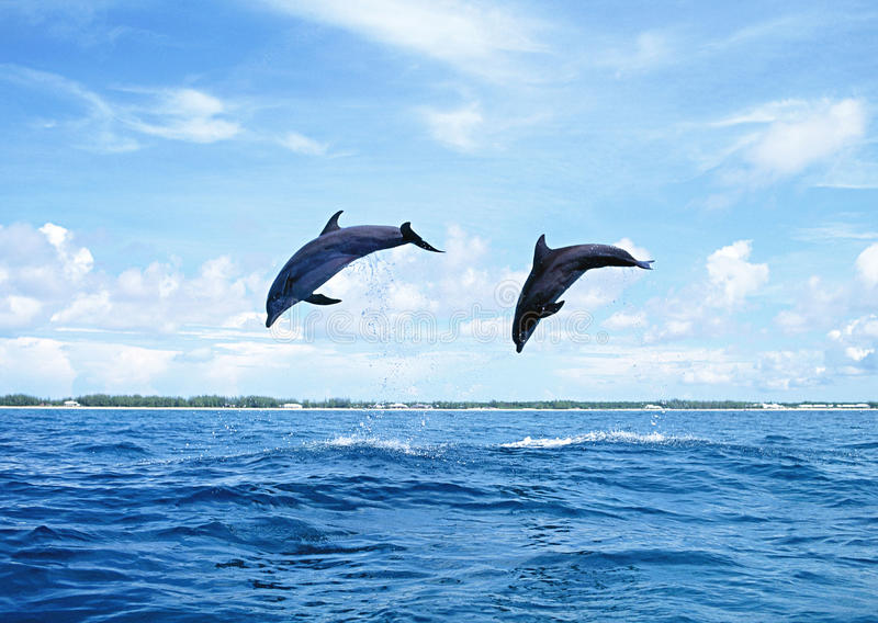 Download Dolphins Jumping stock photo. Image of marine, water - 23800212