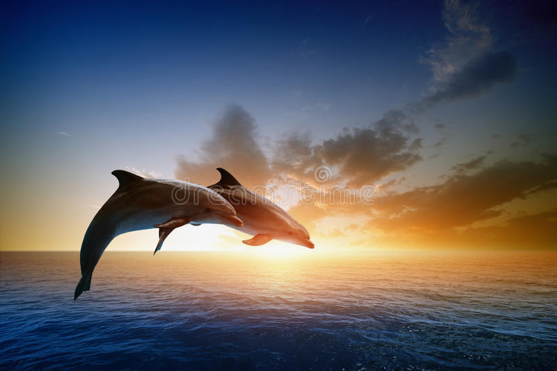 Dolphins jumping. Couple jumping dolphins, beautiful sea sunset