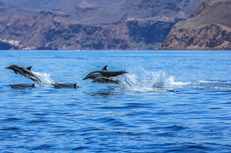 Dolphins jumping Mexico royalty free stock photography