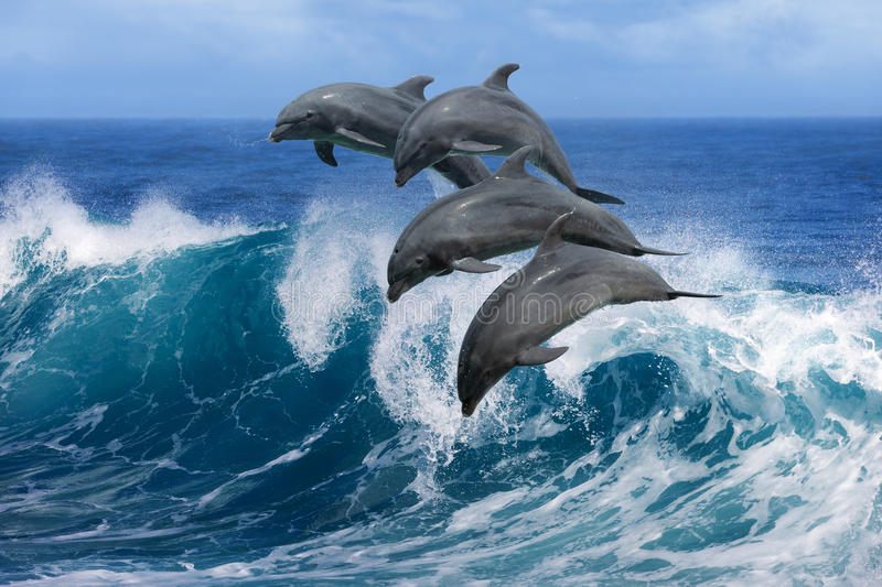 Dolphins jumping over waves. Playful dolphins jumping over breaking waves. Hawaii Pacific Ocean wildlife scenery. Marine animals in natural habitat