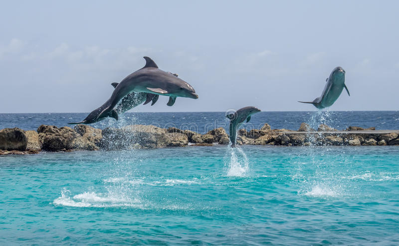 Dolphins jumping. In a show at a sea aquarium in the Caribbean royalty free stock images