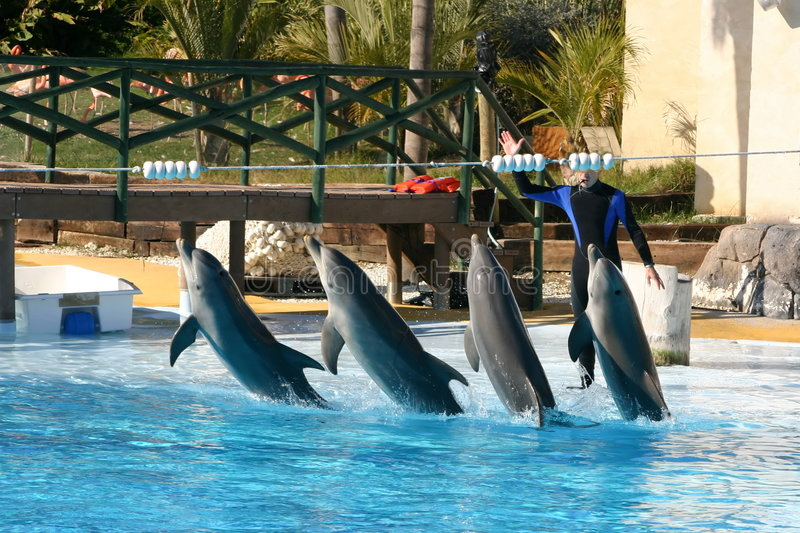 Download Dolphins leaping stock photo. Image of dolphins, pool, tail - 786614