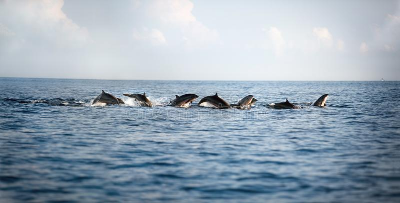 Dolphins leaping out of the water royalty free stock photos