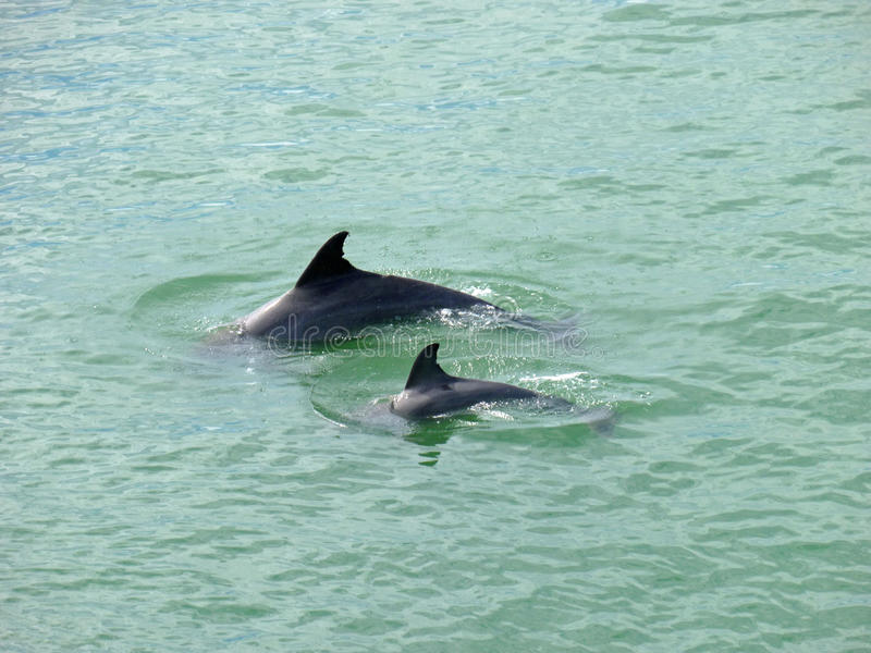 Dolphins Mother and Baby Florida stock photography