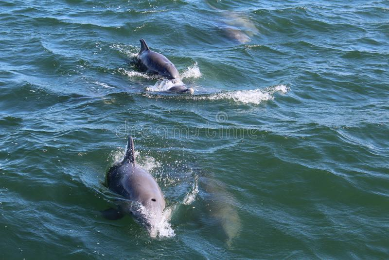 Dolphins in Ocean Port Aransas Texas royalty free stock photo