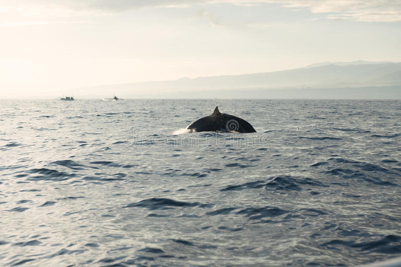 Download Dolphins in Pacific Ocean stock image. Image of environment - 31968317