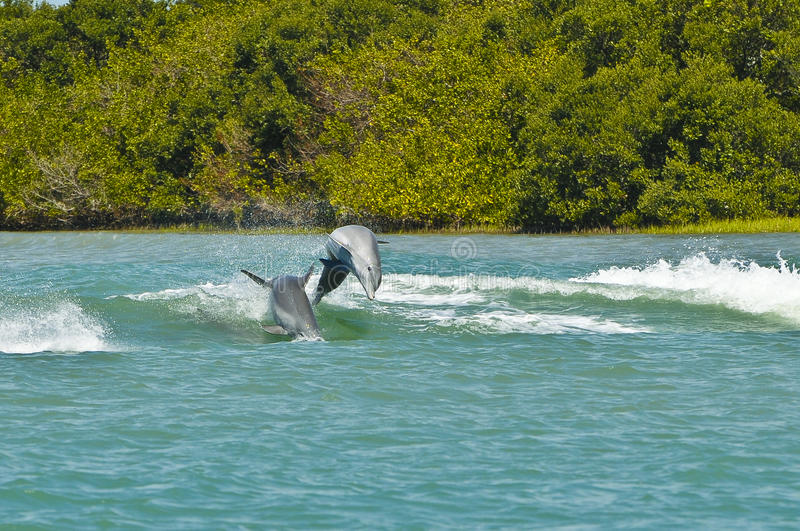 Dolphins Porpoising, Florida. Two grey dolphins jump out of the water while porpoising in the inter-coastal waterway off the Gulf of Mexico near Clearwater Beach royalty free stock photo