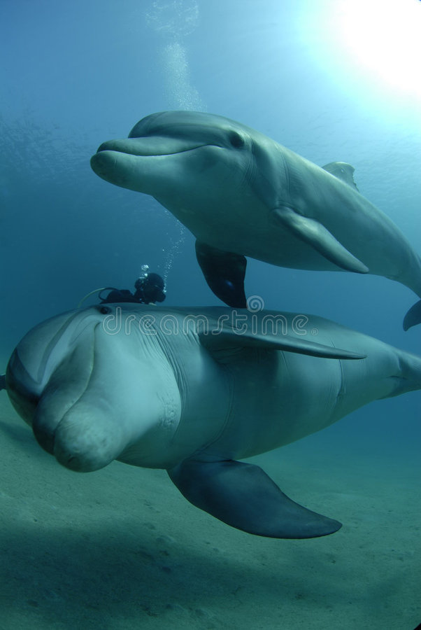 Dolphins in red sea stock photos
