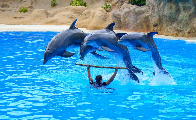 Dolphins show inside Loro Parque, Tenerife. Artistic show with a trainer and dolphins inside Loro Parque zoo, Tenerife island, Spain stock photography