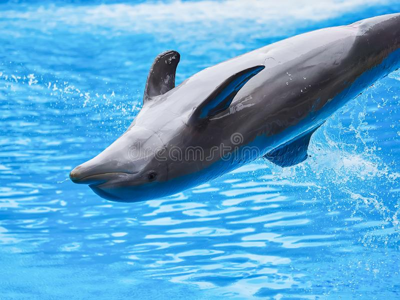 Dolphins show at the Loro Park Loro Parque, Tenerife. Dolphins show at the Loro Park Loro Parque, Tenerife royalty free stock image