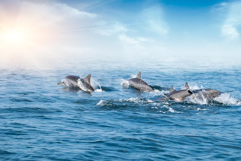 Dolphins jumping under ocean surface lit by sun. Sri Lanka. stock photography