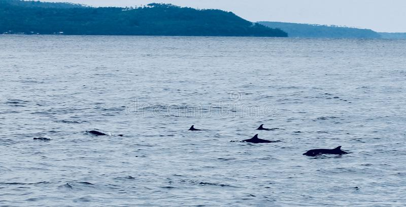 Dolphin. S swim by the diving boot in Indonesia royalty free stock images