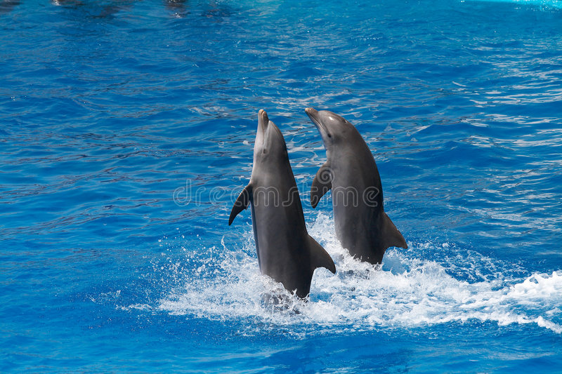 Dolphins swimming royalty free stock images
