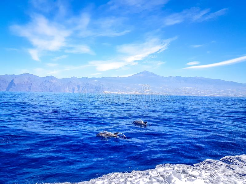 Dolphins swimming in the Atlantic Ocean in front of Los Gigantes, Canary Islands, Tenerife. Water coast bottlenose nature blue family wild aquatic animal cruise stock images