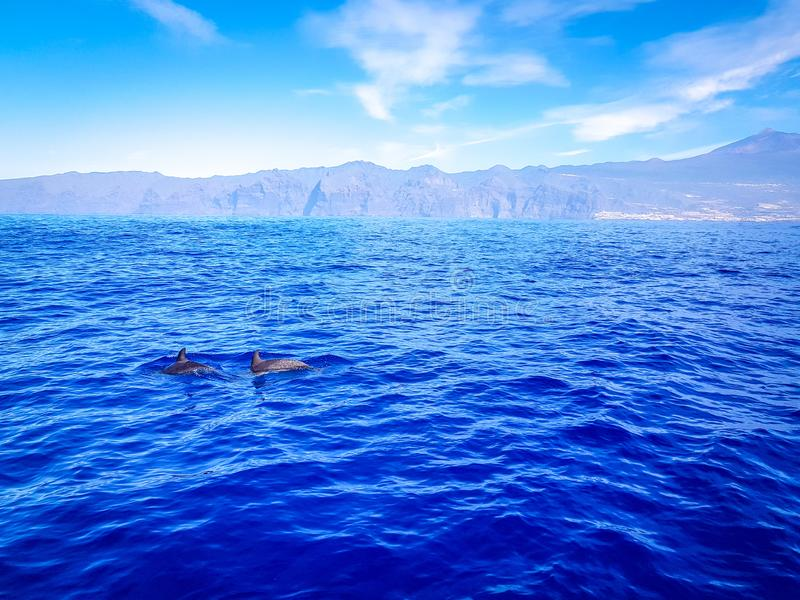 Dolphins swimming in the Atlantic Ocean in front of Los Gigantes, Canary Islands, Tenerife. Water coast bottlenose nature blue family wild aquatic animal cruise royalty free stock photo