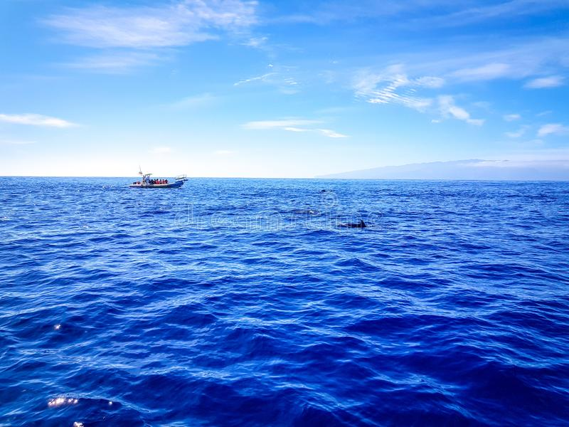 Dolphins swimming in the Atlantic Ocean in front of Los Gigantes, Canary Islands, Tenerife. Water coast bottlenose nature blue family wild aquatic animal cruise stock photography