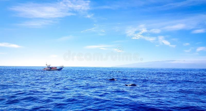 Dolphins swimming in the Atlantic Ocean in front of Los Gigantes, Canary Islands, Tenerife. Water coast bottlenose nature blue family wild aquatic animal cruise stock photo
