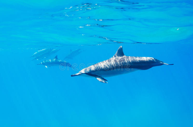 Dolphins swimming underwater stock image