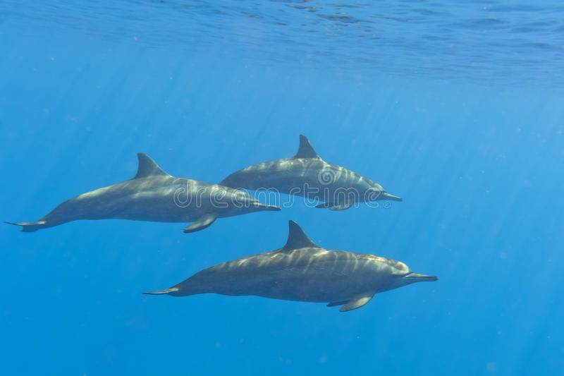 Dolphins while swimming underwater royalty free stock photography