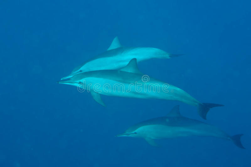 Dolphins while swimming underwater stock photography