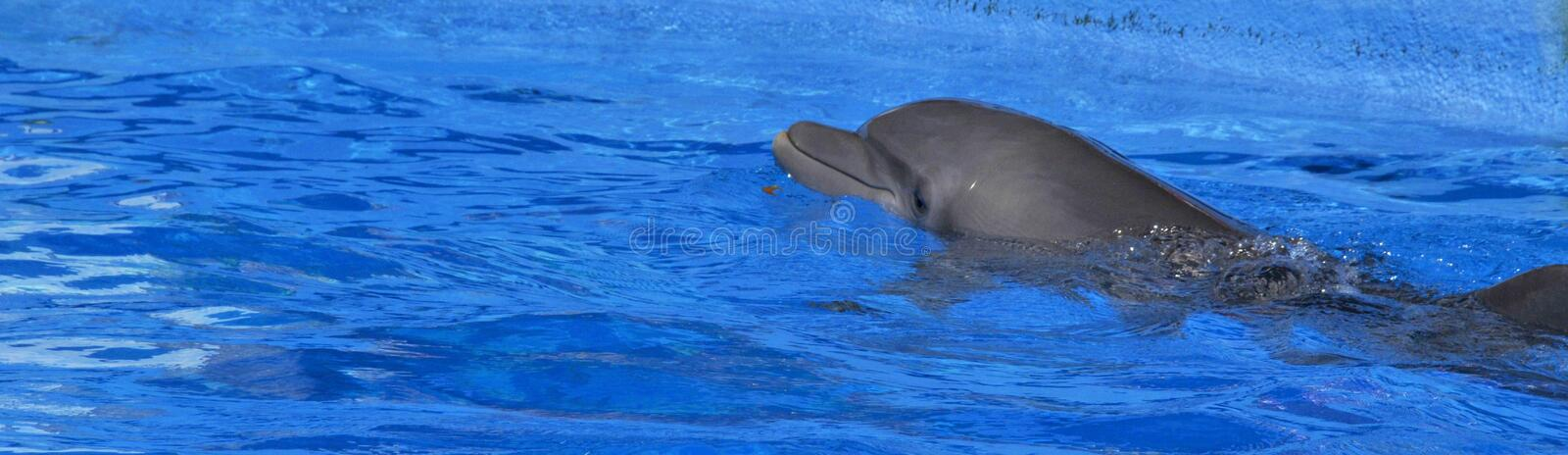 Dolphins are a widely distributed and diverse group of aquatic mammals. They are an informal grouping within the order Cetacea, excluding whales and porpoises stock photography
