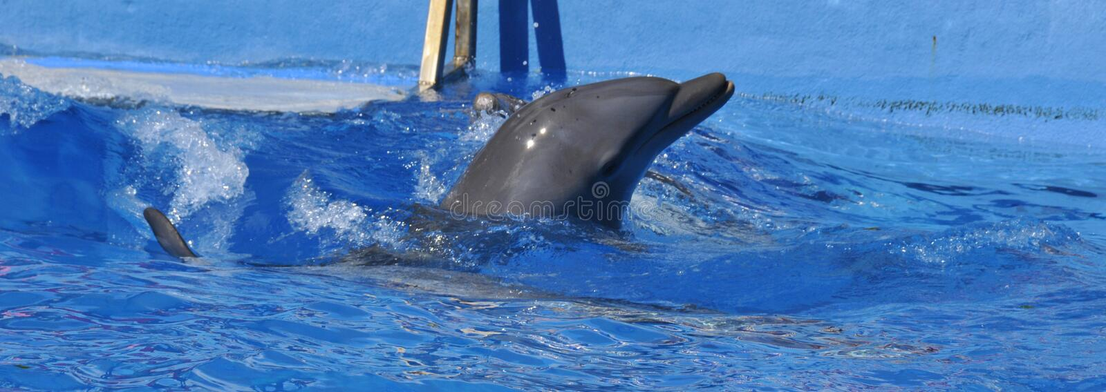 Dolphins are a widely distributed and diverse group of aquatic mammals. They are an informal grouping within the order Cetacea, excluding whales and porpoises stock photo