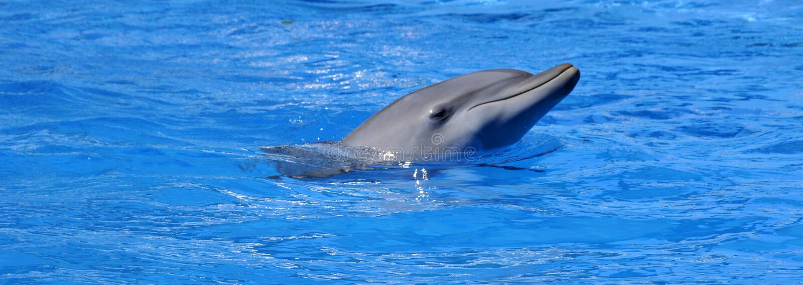 Dolphins are a widely distributed and diverse group of aquatic mammals. They are an informal grouping within the order Cetacea, excluding whales and porpoises royalty free stock photo