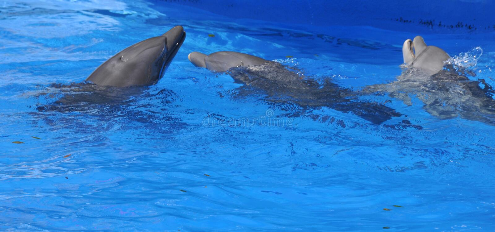 Dolphins are a widely distributed and diverse group of aquatic mammals. They are an informal grouping within the order Cetacea, excluding whales and porpoises royalty free stock images