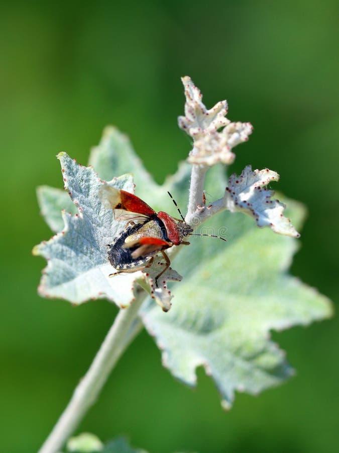 Dolycoris baccarum stockfotografie
