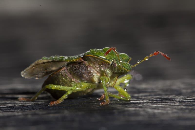 Dolycoris-baccarum, die Beerenwanze, ist Spezies der Schildwanze in der Familie Pentatomidae-Plage von Ernten stockfoto
