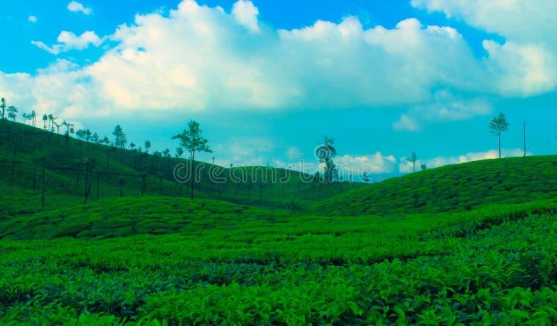 Domaine de thé image libre de droits