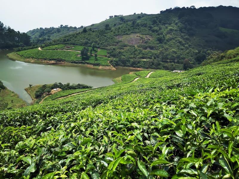 Domaine de thé avec un lac photographie stock libre de droits