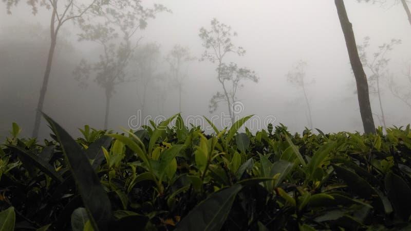 Domaine de thé de Loolkadura photographie stock libre de droits