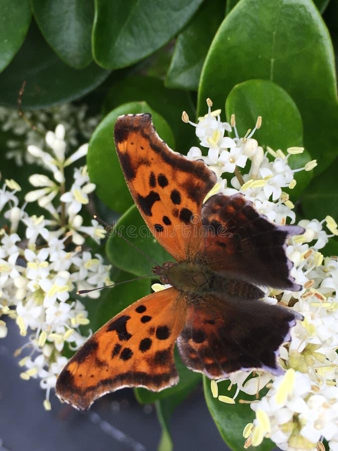 Domanda Mark Butterfly immagine stock libera da diritti