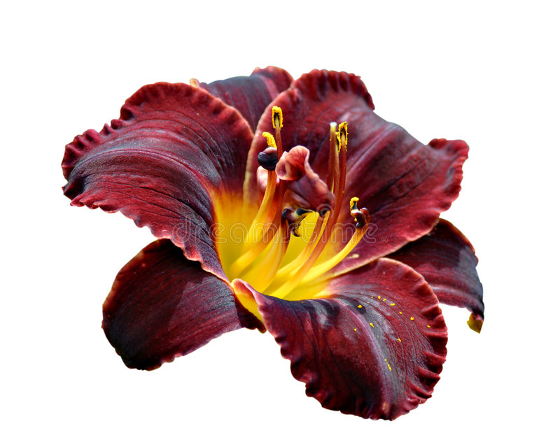 Domenic Daylily foto de stock royalty free