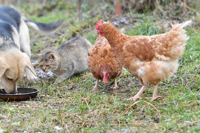 Domestic animal chicken cat and dog friendly eating together. Dog and cat as a best friendsn dog and cat eating from the same dish as a best friends stock images
