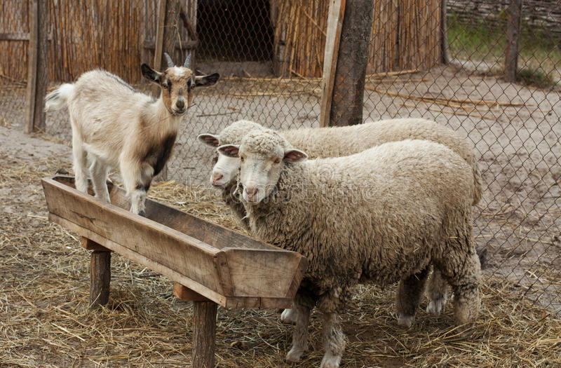 Download Domestic animals stock image. Image of meat, wool, village - 21555737