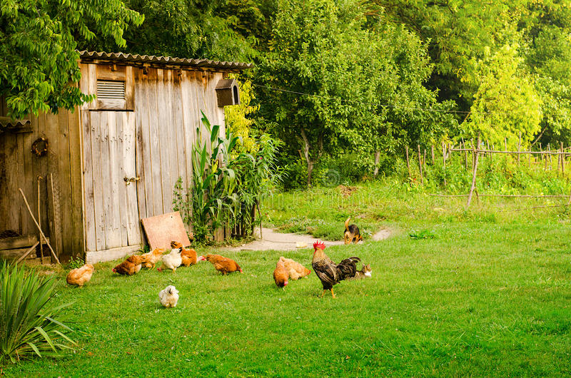 Domestic animals in farmyard. Domestic animals in beautiful green farmyard. Poultry, cat and dog eating together by the wooden shed on green lawn. Horizontal royalty free stock photo