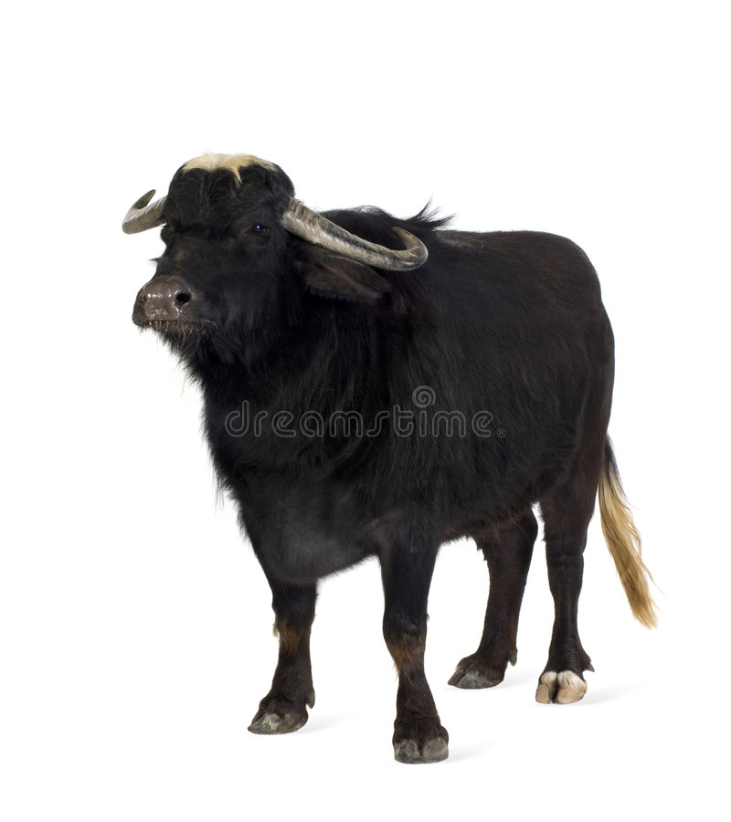 Domestic Asian Water buffalo - Bubalus bubalis. In front of a white background stock image