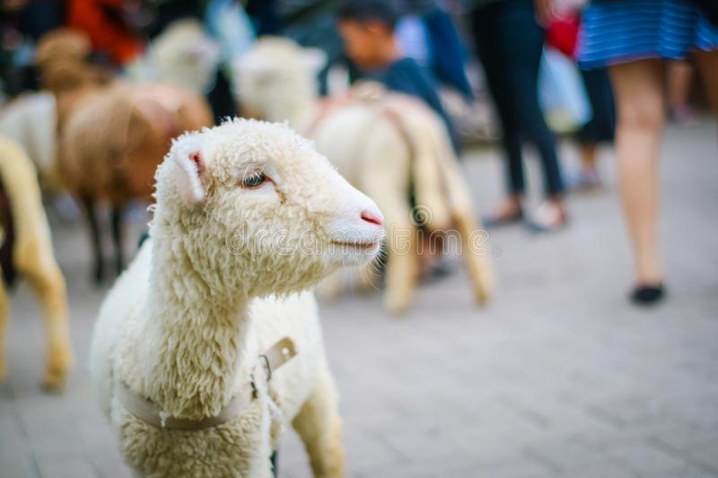 Domestic Baby Sheep on Farm. A ram lamb is the name for a baby male sheep and a ewe lamb is what a young female sheep is called. If a young male sheep is stock images