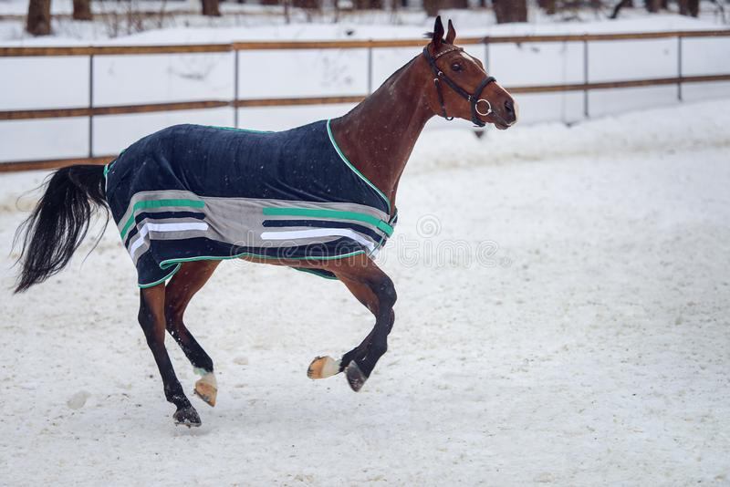 Domestic bay horse walking in the snow paddock in winter. The horse in the blanket royalty free stock photo