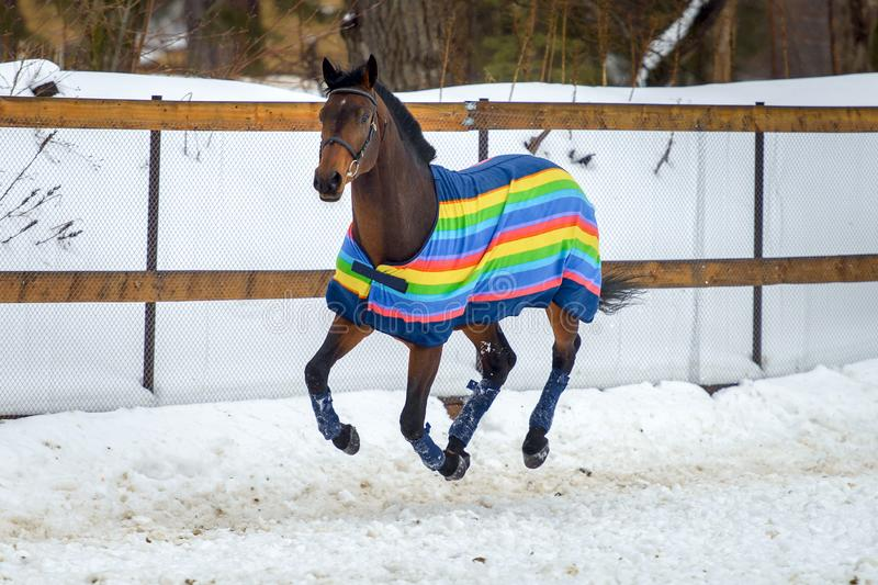 Domestic bay horse walking in the snow paddock in winter. The horse in the blanket. The concept of keeping Pets royalty free stock photo