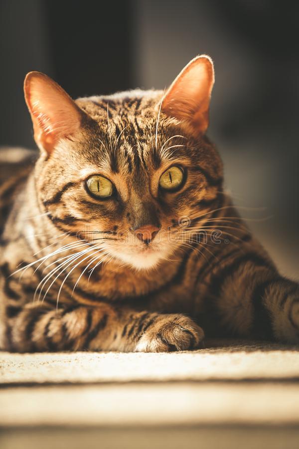Domestic Bengal Cat laying in the sunshine on the carpet stock photo