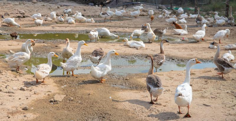 Domestic bird farm pasture. White and grey goose outdoor. Soil pasture with paddles for water bird. Cute goose flock. Curious farm animals. Gaggle and duck mob stock photography